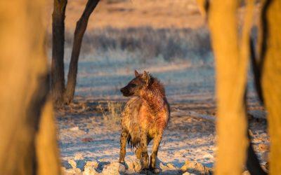 Spotted Hyena Kgalagadi