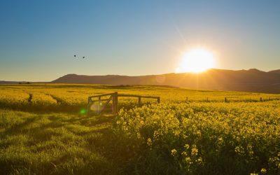 Canola fields Overberg