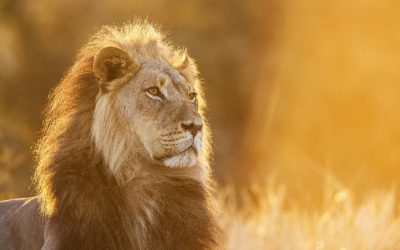 Kgalagadi Lion