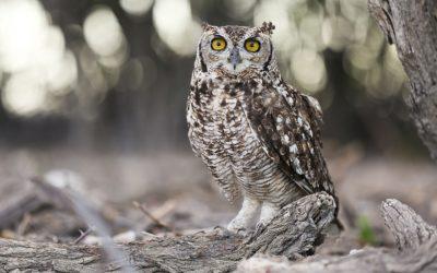 Spotted Eagle Owl Etosha Namibia